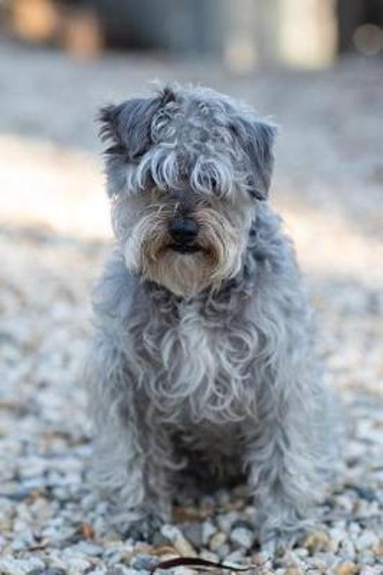 Sweet Schnoodle Dog Journal