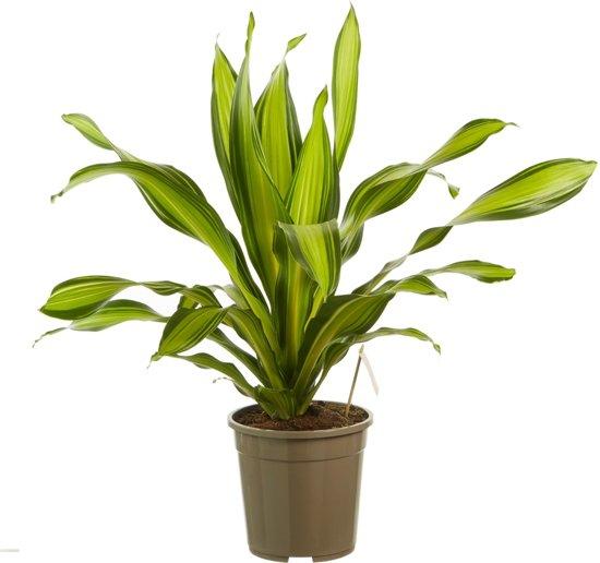 Flora Gifts Dracaena Charley(Dracaena fragans Charley)