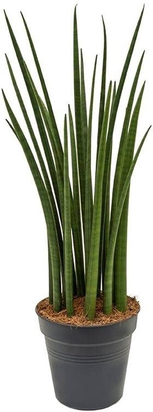 Sansevieria Spikes XL (75 cm)