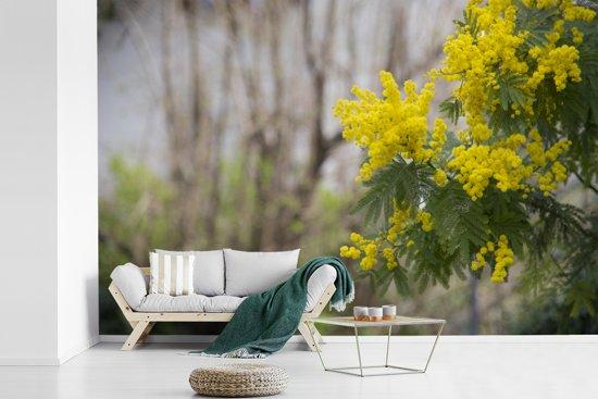 Fotobehang vinyl - Sierlijke mimosa bloem breedte 330 cm x hoogte 220 cm - Foto print op behang (in 7 formaten beschikbaar)