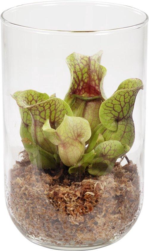 Plant In Glazen Vaas.Bol Com Swampworld Deco Glas Trompetbekerplant