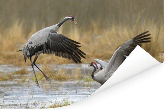 Europese kraanvogels bij ondiep water Poster 180x120 cm - Foto print op Poster (wanddecoratie woonkamer / slaapkamer) XXL / Groot formaat!