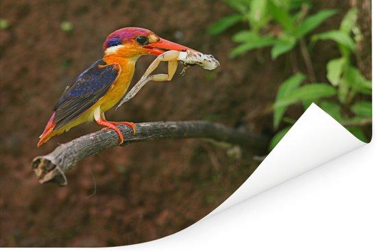 Molukkendwergijsvogel met een kikker in bek Poster 60x40 cm - Foto print op Poster (wanddecoratie woonkamer / slaapkamer)
