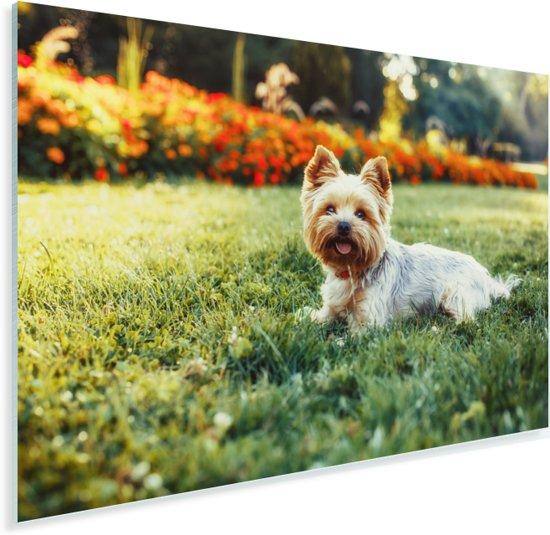 Schattige Yorkshire Terrier ligt lekker in het groene gras Plexiglas 90x60 cm - Foto print op Glas (Plexiglas wanddecoratie)