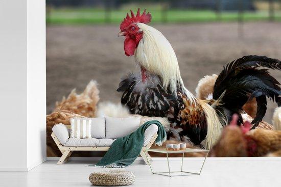 Fotobehang vinyl - Witte haan tussen de kippen breedte 600 cm x hoogte 400 cm - Foto print op behang (in 7 formaten beschikbaar)