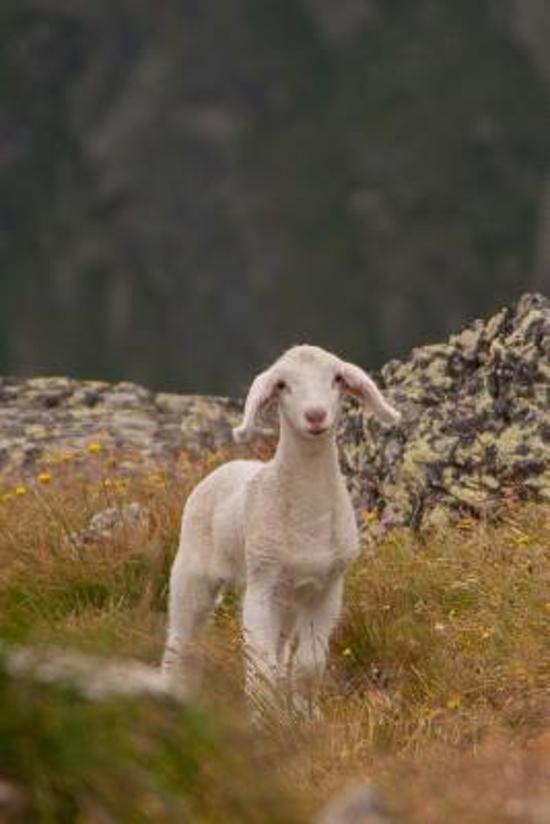 Captivating Little White Lamb Journal