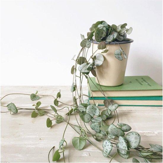 lantaarnplantje ceropegia woodii hangplant. Black Bedroom Furniture Sets. Home Design Ideas