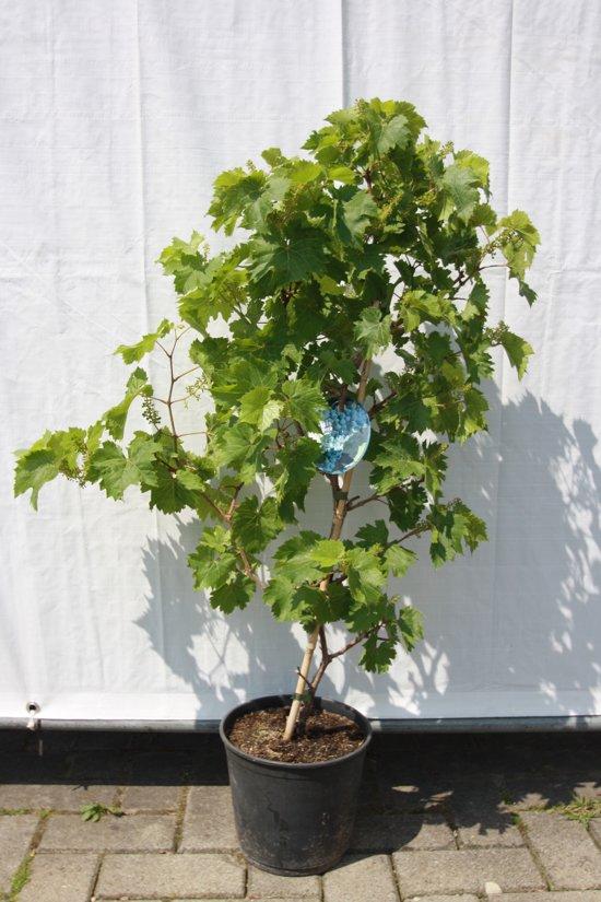 Blauwe druif op stam, vitis vinifera 100cm