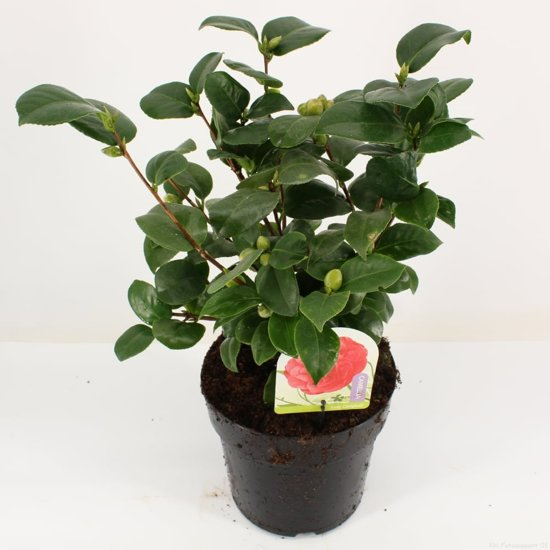 4x Camellia 'Lady Campbell' - Camelia in 2,5 liter pot