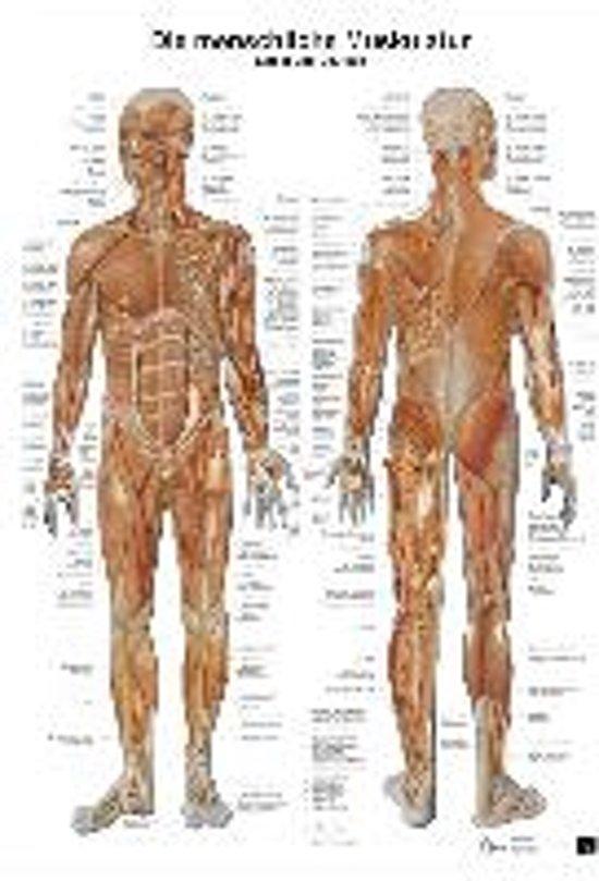bol.com | Anatomie-Lerntafel. Die menschliche Muskulatur