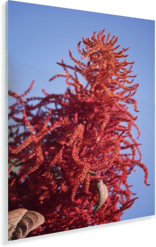 Strakblauwe lucht achter de rode kleur van de amarant Plexiglas 40x60 cm - Foto print op Glas (Plexiglas wanddecoratie)