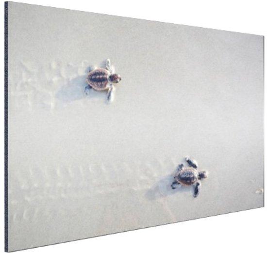 Twee kleine schildpadden Aluminium 30x20 cm - klein - Foto print op Aluminium (metaal wanddecoratie)