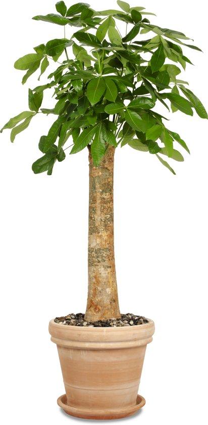 Wout (Pachira Aquatica) Terracotta/Grijs   ↕ +/- 2,05m   Grote kamerplant   Luchtzuiverend   Gemakkelijk