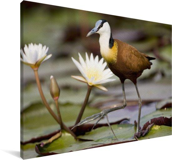 Een Afrikaanse jacana tussen de volbloeide waterlelies Canvas 180x120 cm - Foto print op Canvas schilderij (Wanddecoratie woonkamer / slaapkamer) XXL / Groot formaat!