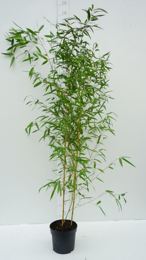 bol.com   3 Stuks Phyllostachys aurea; Totale hoogte 100-125cm incl ...