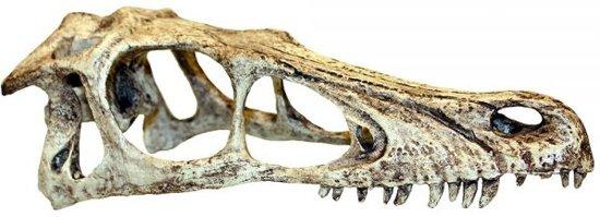 Komodo raptor schedel 11,5x25x9,5 cm l
