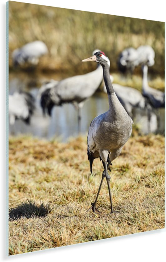 Europese kraanvogel poseert voor de camera Plexiglas 40x60 cm - Foto print op Glas (Plexiglas wanddecoratie)