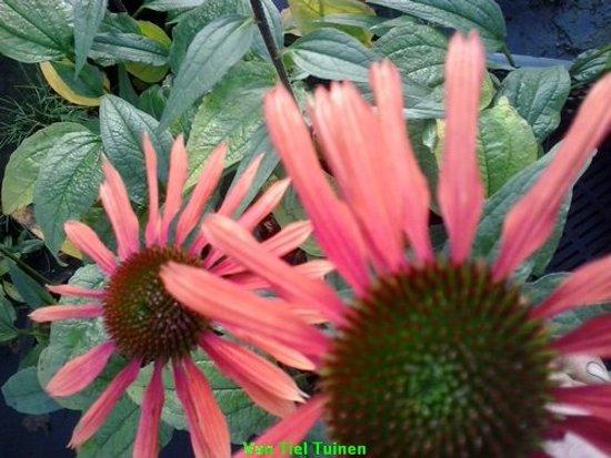 Set 12 stuks Echinacea Summer Coctail zonnehoed
