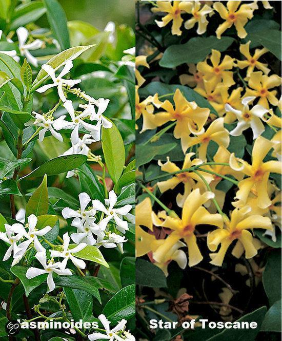 2 Italiaanse Jasmijnen (Sterjasmijn) - Klimplant   2 stuks - Geel en Wit - Groenblijvend