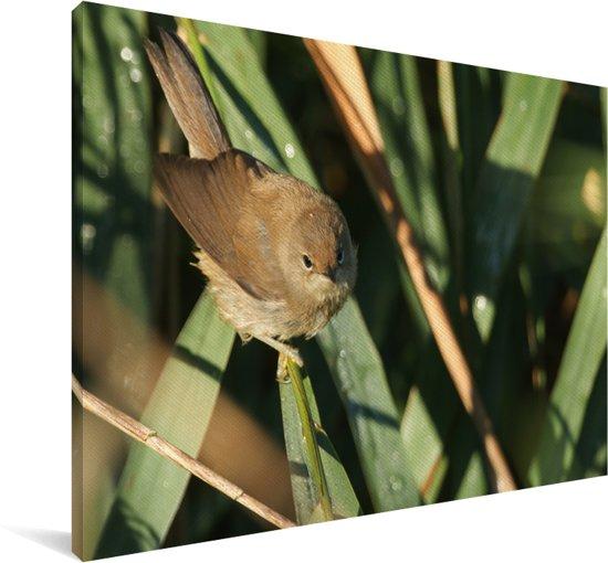 Kleine karekiet is aan het rusten in de zon Canvas 120x80 cm - Foto print op Canvas schilderij (Wanddecoratie woonkamer / slaapkamer)