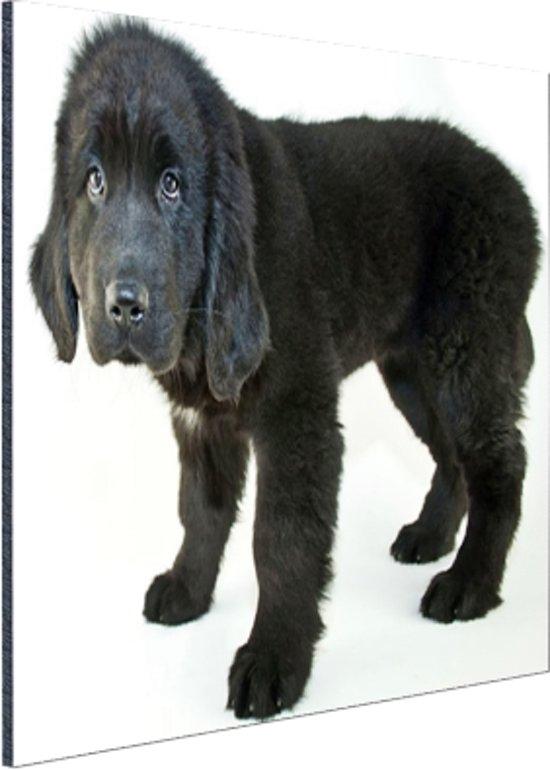 Schattige zwarte puppy Aluminium 90x60 cm - Foto print op Aluminium (metaal wanddecoratie)