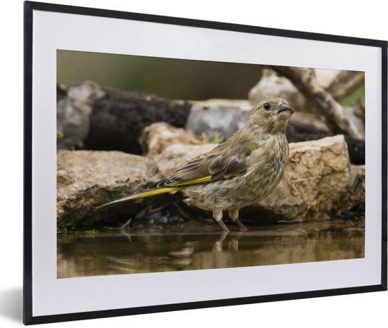 Foto in lijst - Groenling loopt in het water fotolijst zwart met witte passe-partout 60x40 cm - Poster in lijst (Wanddecoratie woonkamer / slaapkamer)