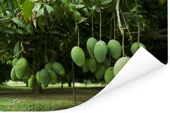 Mango's in volle ontwikkeling Poster 60x40 cm - Foto print op Poster (wanddecoratie woonkamer / slaapkamer)