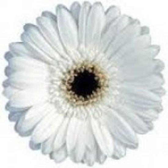 12 witte gerbera 39 s for Gerbera in de tuin