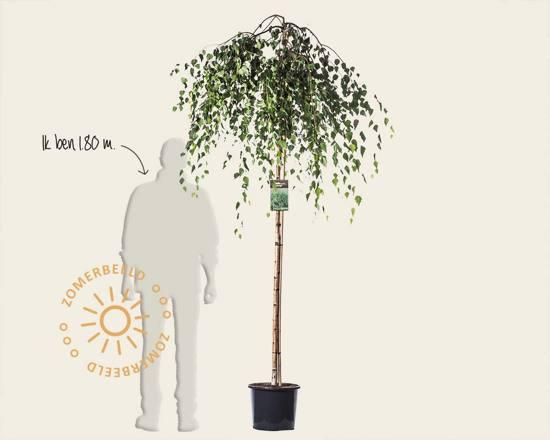 Betula pendula 'Youngii' - 180 cm stam