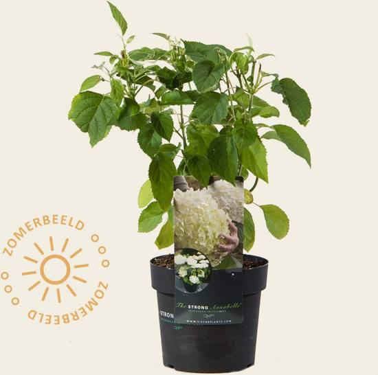 Hydrangea arborescens 'Incrediball' (Strong Annabelle)