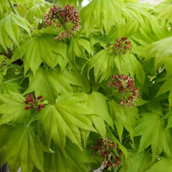 Bolcom Acer Shirasawanum Aureum Gele Esdoorn 25 30 Cm Pot
