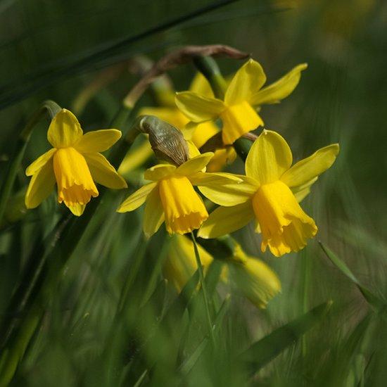 Narcis February Gold per 250 stuks = 10m² = Bolmaat 12/14 - Geel - Bloembollen