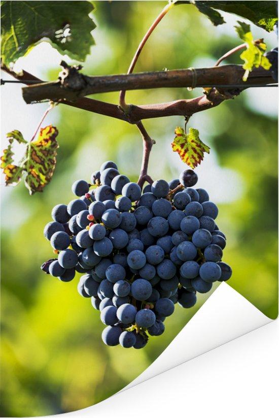 Eenzame tros paarse druiven in Italië Poster 120x180 cm - Foto print op Poster (wanddecoratie woonkamer / slaapkamer) XXL / Groot formaat!