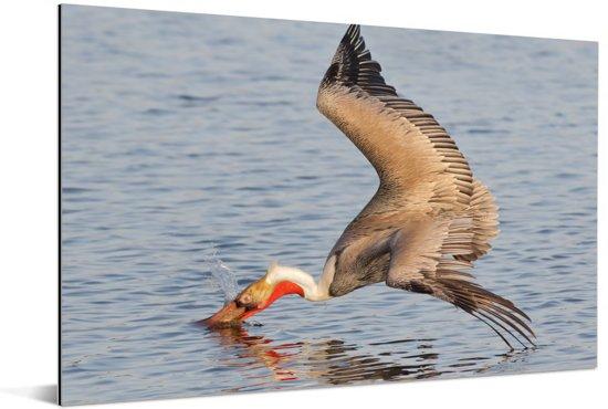 Grijze pelikaan duikt op volle snelheid in water Aluminium 90x60 cm - Foto print op Aluminium (metaal wanddecoratie)