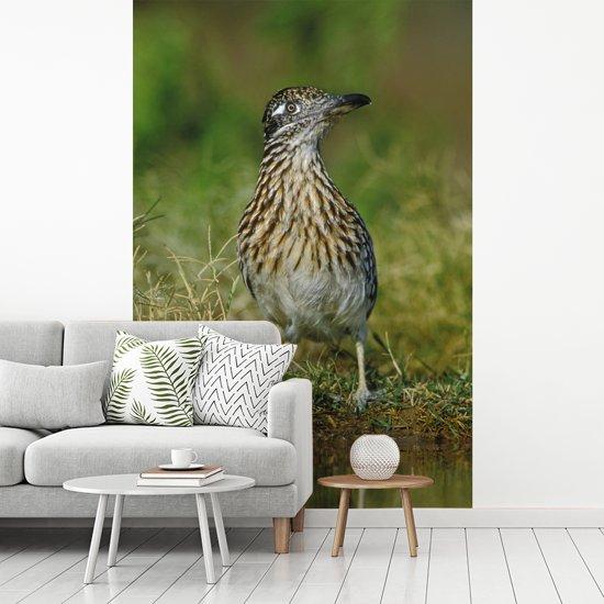 Fotobehang vinyl - Grote renkoekoek in een graslandschap in Texas breedte 235 cm x hoogte 360 cm - Foto print op behang (in 7 formaten beschikbaar)