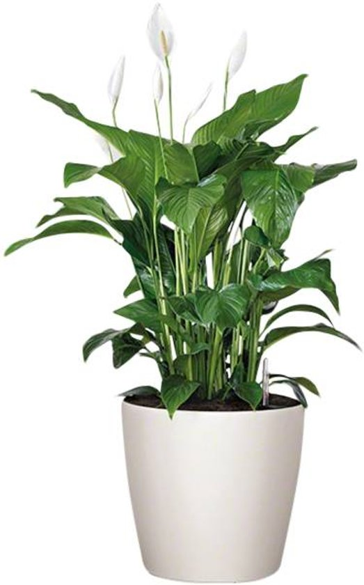 Spathiphyllum in watergevende pot