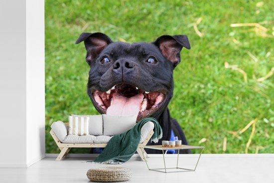 Fotobehang vinyl - Zwarte Staffordshire Bull Terrier die in de camera glimlacht breedte 600 cm x hoogte 400 cm - Foto print op behang (in 7 formaten beschikbaar)