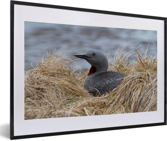 Foto in lijst - Red-throated duiker op haar nest fotolijst zwart met witte passe-partout 60x40 cm - Poster in lijst (Wanddecoratie woonkamer / slaapkamer)