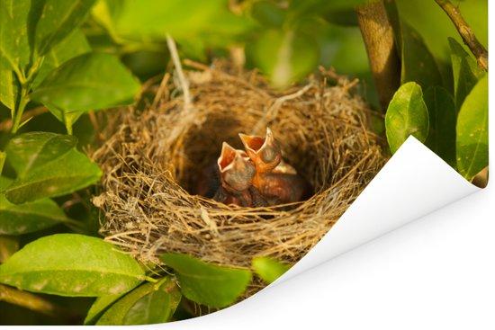 Nachtegaalkuikens in een nest met open bekken Poster 180x120 cm - Foto print op Poster (wanddecoratie woonkamer / slaapkamer) XXL / Groot formaat!
