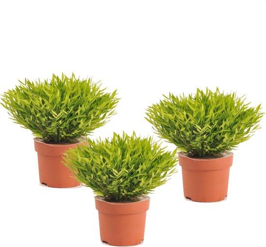Bamboo plantje (Pogonatherum) per 3 stuks