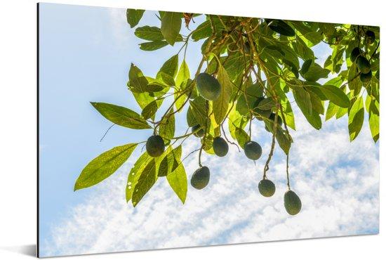 Avocado's op aan de takken Aluminium 180x120 cm - Foto print op Aluminium (metaal wanddecoratie) XXL / Groot formaat!