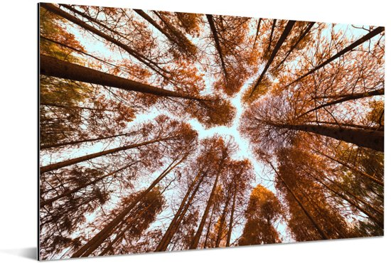 Onderaanzicht van de herfstbladeren in de Redwood forest in China Aluminium 90x60 cm - Foto print op Aluminium (metaal wanddecoratie)