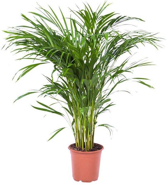 Het Beste van de kweker Areca Dypsis Palm - Goudpalm - Kamerplant in Kwekers Pot ⌀21 cm -  ↕100 cm