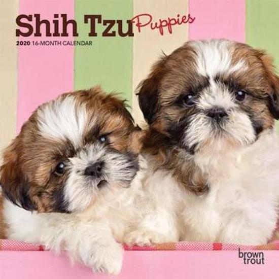 Shih Tzu Puppies 2020 Mini 7x7