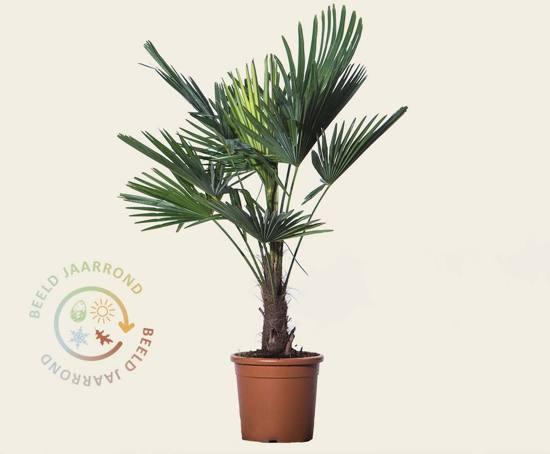 Trachycarpus fortunei - 010 cm stam