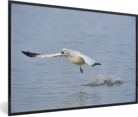 Foto in lijst - Ross gans vliegt laag over het wateroppervlak fotolijst zwart 60x40 cm - Poster in lijst (Wanddecoratie woonkamer / slaapkamer)