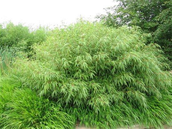 bamboe 2 stuks fargesia rufa 100 cm incl 5 liter pot groeit snel en woekert niet. Black Bedroom Furniture Sets. Home Design Ideas