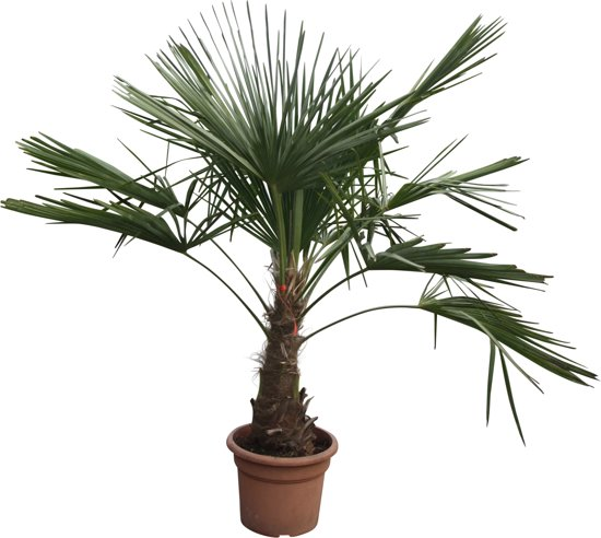 Afbeeldingsresultaat voor Chinese windmolenpalm Trachycarpus in pot