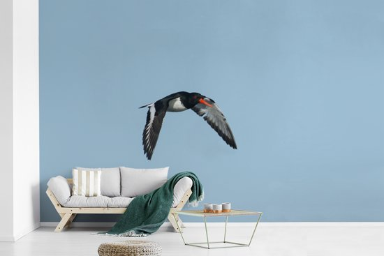 Fotobehang vinyl - Foto van een vliegende scholekster breedte 595 cm x hoogte 380 cm - Foto print op behang (in 7 formaten beschikbaar)