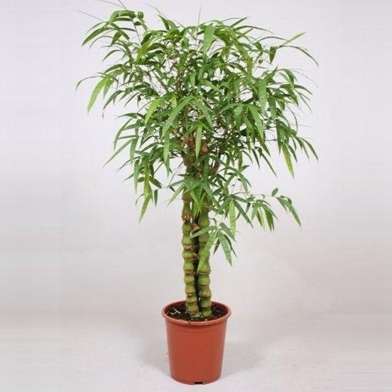 Bamboe Plant Binnen.Bol Com Kamerplant Bamboe Bambusa Ventricosa 3 Per